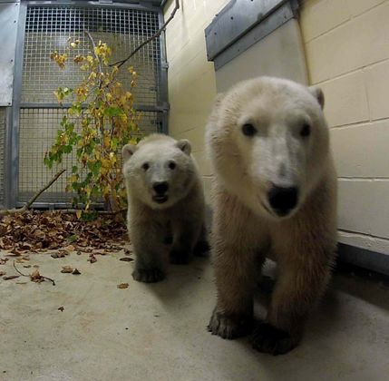 October 2, 2014: The Assiniboine Park Zoo has two new adorable polar bear cubs, rescued by Manitoba Conservation and Water Stewardship from the Hudson Bay coastline, after they were spotted by a helicopter. The 10-month-old siblings, one male and one female, are under a standard 30-day quarantine period according to the zoo.