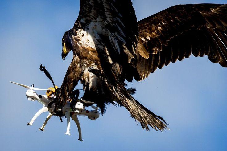 Un'#aquila della polizia olandese di Katwijk afferra un #drone in aria durante un'esercitazione. L'uccello da preda è stato addestrato per intercettare i droni che volano senza autorizzazione.