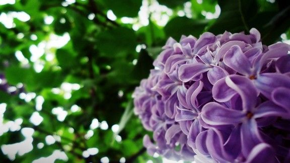 Leylak Çiçeği #wallpaper #çiçek #leylak #flowers #lilac