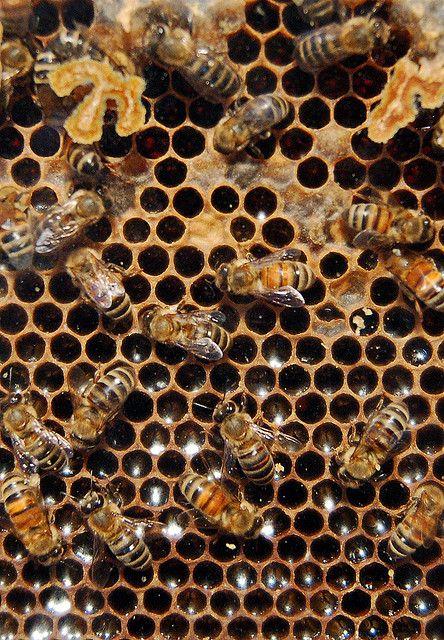 honeybees, honeycomb, brood, nectar, honey