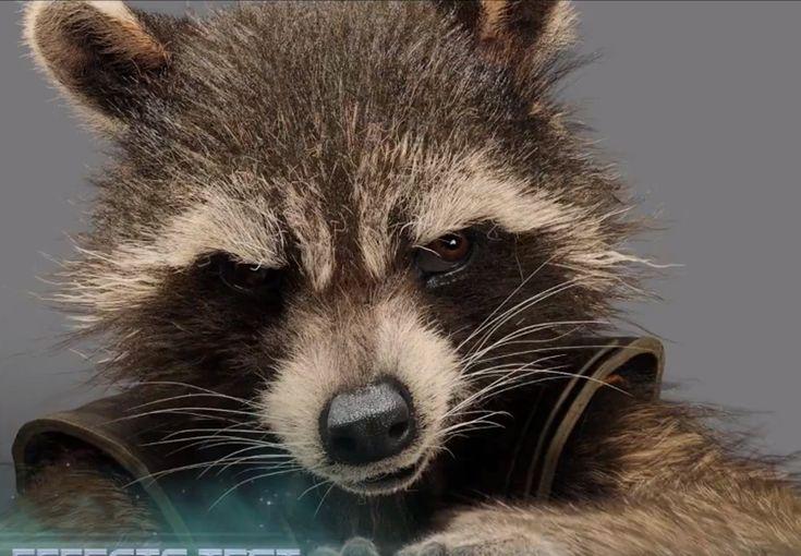 Raccoon Hands Gif Brad... Bradley Cooper