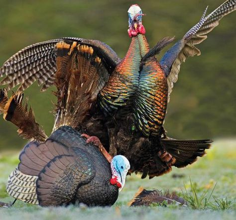 Turkey Hunting Tips: Mega Decoy Spreads for Early Season Toms