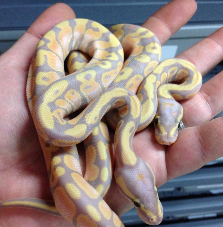 179 Best Images About Ball Pythons On Pinterest