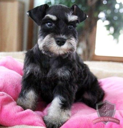 This is Queenie and isn't she one super Adorable mini schnauzer puppy?