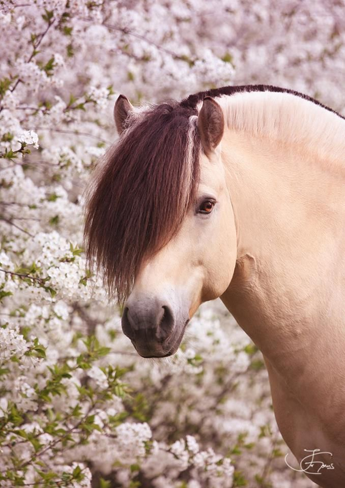 Gorgeous Fjord horse with pink flower background. Love that mane! Dream Stallion Legolas ~ Irene Gams