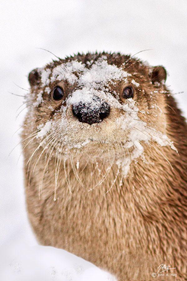 Snowy Otter by John Haig.