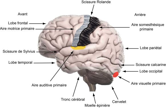 Approche Neurosensorielle du Langage Oral - Cerveau et langage