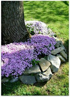 Creeping phlox ringing around a tree