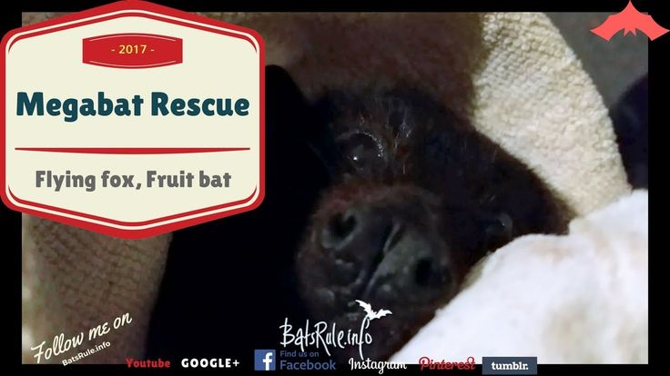 Rescue Megabat, black male, Flying Fox, Fruit Bat