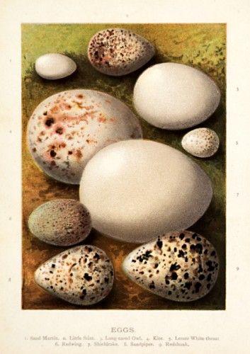 Eggs. Sand Martin, Little stint, Long-eared Owl, Kite, Lesser White-throat, Redwing, Shieldrake, Sandpiper, Redshank.  Original chromolithograph, c.1883. #easter #naturalhistory