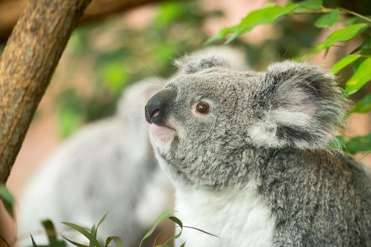 Koala (Phascolarctos cinereus) dans la serre australienne du ZooParc de Beauval (Loir-et-Cher), espèce aujourd'hui largement menacée par la disparition de son habitat naturel.