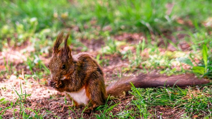 squirrel - rodents