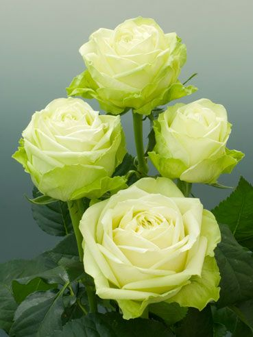 """""""Green Romantica"""" Specifically bred for its green hues, this florist rose will perform best in cool sunny climates where the color will be at its most intense. A true long stemmed hybrid tea, it needs to be cut fairly open to maximize its life in the vase."""