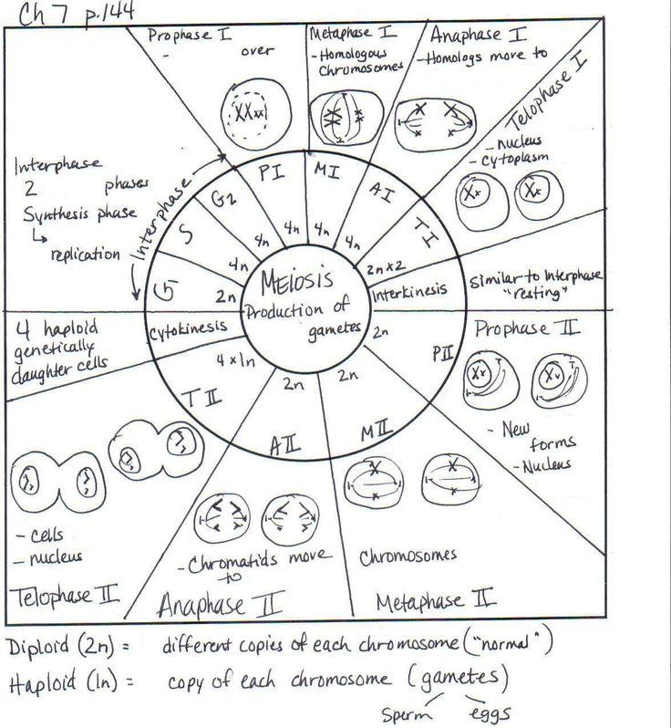 Meiosis se se ala bien en la infografia el n mero de crom tidas – Mitosis Practice Worksheet