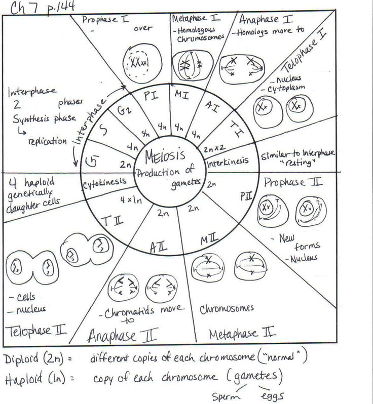 Worksheets Worksheet 3.9 Mitosis Sequencing Answer Key 17 best images about mitosis meiosis on pinterest scanning comparing and worksheet name instructions doc