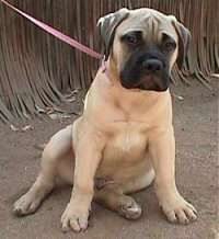 Bull Mastiff puppies are adorable but they can get to over 120lbs. That's as big as me!