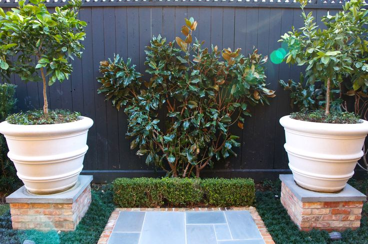 Magnolia tree behind boxwood hedge with container citrus on either side. Brick and slate patio and pottery pedestals surrounded by dwarf monkey grass.