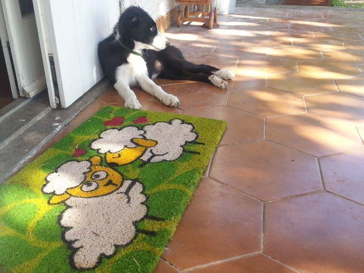 Fylgia   My Puppy Border Collie