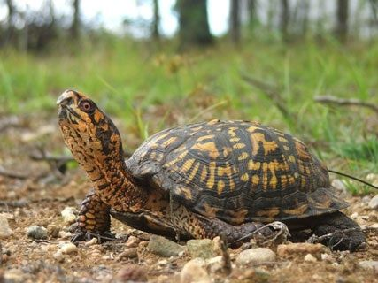 Finding box turtles