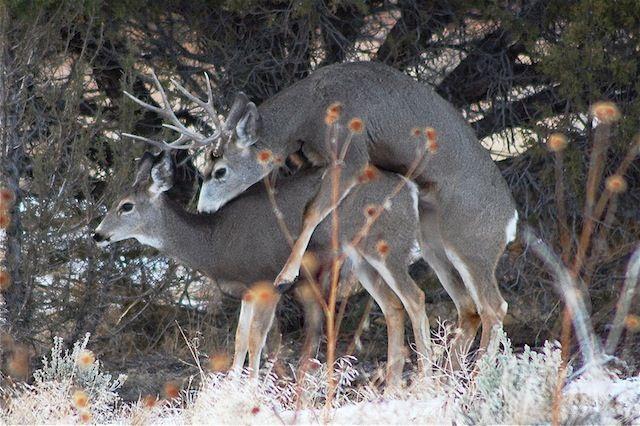 Mule Deer Rutting