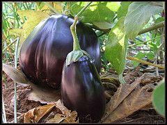 Cultivar Berenjena en maceta