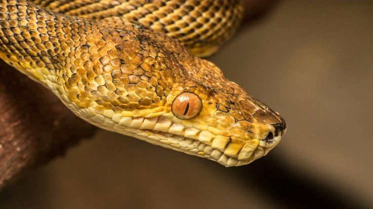 #thephotosociety #snake #portrait #saveanimals #macabrel #boa #corallusenydris #serpiente