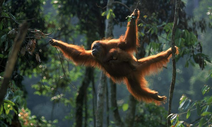 It's World #Orangutan Day! Did you know Borneo and Sumatra are the ONLY places in the world you can find orangutans in the wild? Share if you love 'em & want to see them continue to survive and thrive in our world's #rainforests. | Via @World Wildlife Fund