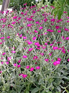 "Lychnis coronaria ""Rose Campion"" easy to grow from seed and such a pretty silver accent color."