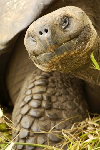 Giant Galapagos Tortoise. what us that there let me have a turn ~starts tapping the camera~