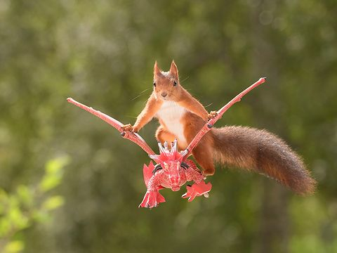 Photos of wild red squirrels in scenes of the games of Thrones