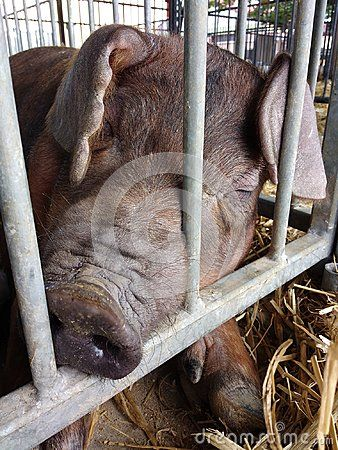 The 165th Great Allentown Fair, August 29th to September 4th 2017: A pig sleeps in the livestock barns during The Great Allentown Fair. This photo was taken on September 1st 2017.