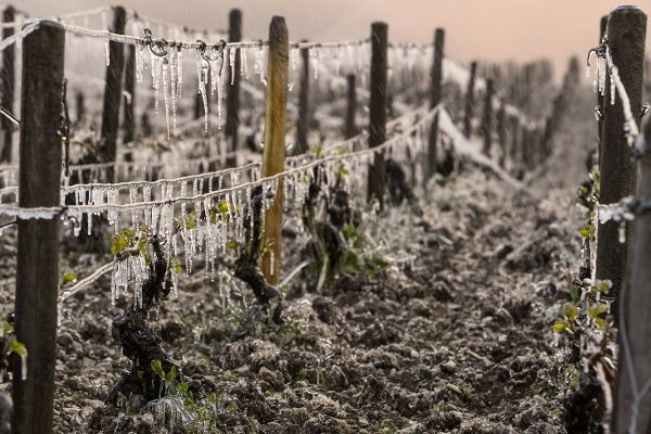 Как повлияли на виноградники заморозки в Европе