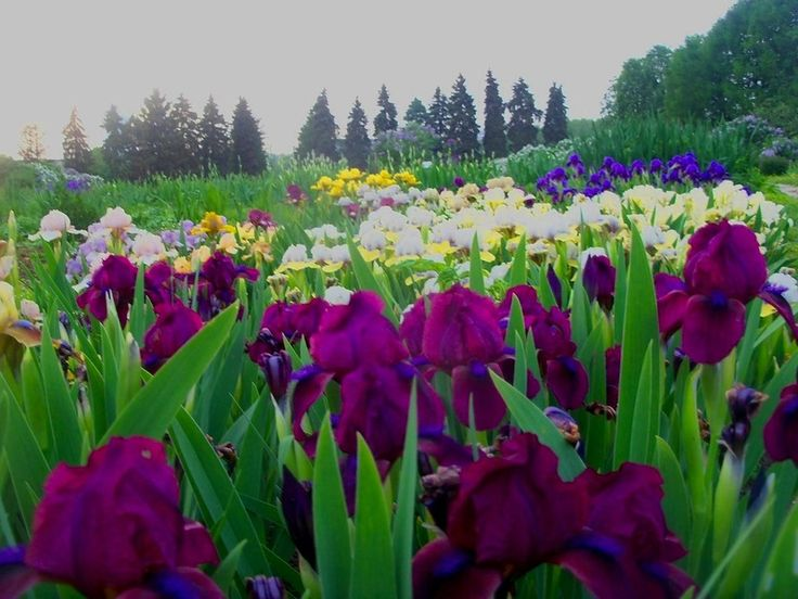 проще фото ирисов лечнвх кумысная поляна стране чудес этого