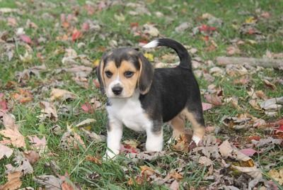 BEAGLES Puppy Puppies for sale, Puppies, Buy puppies