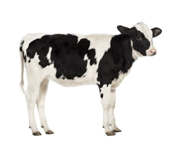 Fotobehang Noordwand Farm life 3750051 Cow