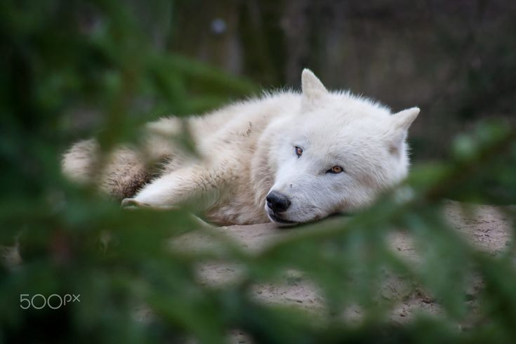 Arctic wolf by Michaela Smidova on 500px