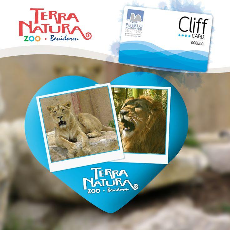 Nos acaban de llegar noticias de la pareja de leones asiáticos de Terra Natura  a los que estamos ayudando con nuestro programa CLIFF. #Cliff #PuebloAcantilado #TerraNatura #leones #TarjetaCliffAcantilado #ProgramaFidelizacion
