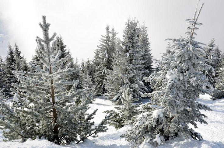 Pinetrees