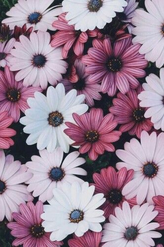 Pink + White Daisies Wallpaper