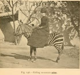 Miss Alice Hayes: riding side saddle on a mountain zebra