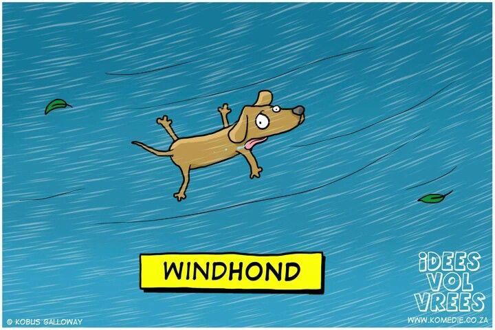Windhond
