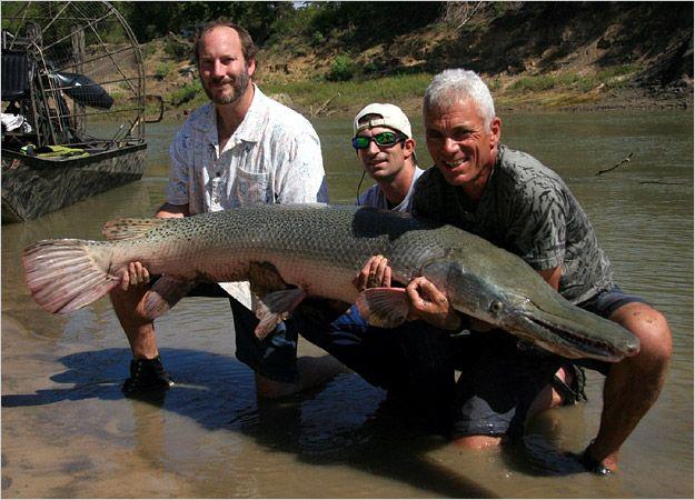 Alligator gar, 111 lbs