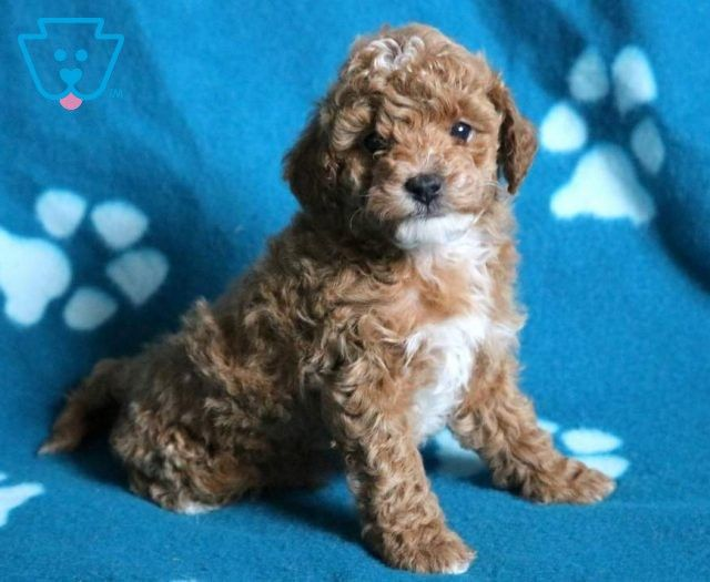 Adam Mini Puppies Mini Poodle Puppy Puppies For Sale