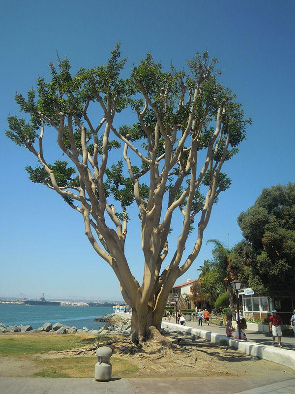 SanDiego_tree | by arceo.daniela