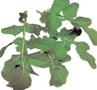 Organic Vegetable Seeds Online - Rocket- sow, March