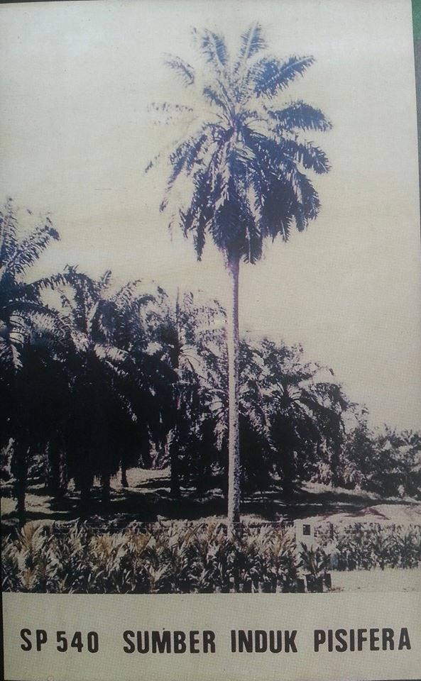 tetua kelapa sawit di Indonesia