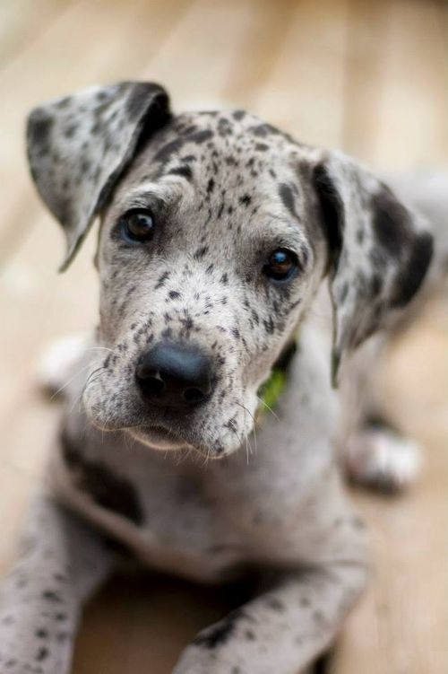 11 Week Old Great Dane Puppy. Yes, I love the spotted face, wise eyes, and soft ears. Adorable.