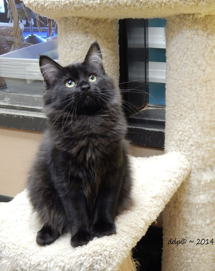 Pretty Black Long Haired Cat