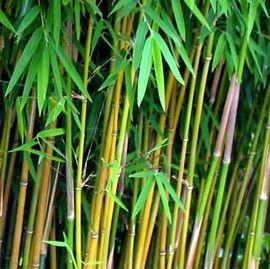 Petit bambou : Fargesia jiuzhaigou - bonne idée pour faire une haie dans le fond du jardin