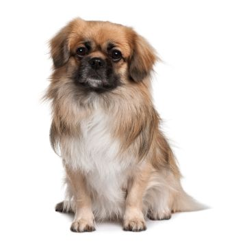 Tibetan Spaniel:   The Tibetan Spaniel is a reliable little watchdog and lapdog. They are active, alert, lively, happy, and intelligent. They thrive on human companionship and need to be with their people.